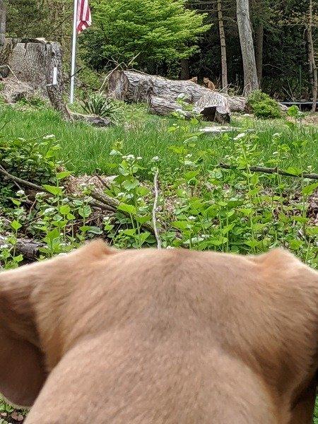 T-Bone watching the neighborhood foxes